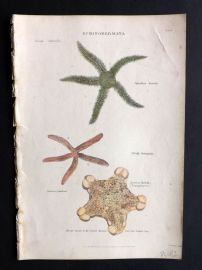 Richardson 1862 Hand Col Print. Asterias, Ophisthrix Starfish